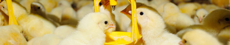 Comedero insumos avícolas